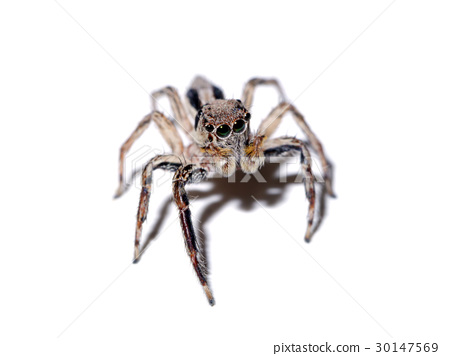 Jumping Spider on white background. 30147569