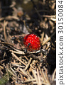 Horizontal shot of wild strawberry and ants 30150084