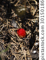 Wild strawberry, pine needles and ants in anthill 30150186