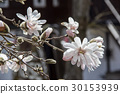 star, magnolia, bloom 30153939
