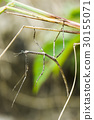stick insect, Phasmatodea. 30155071