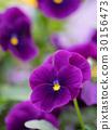中提琴 花朵 花卉 30156473