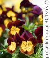 中提琴 花朵 花卉 30156524