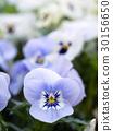 中提琴 花朵 花卉 30156650