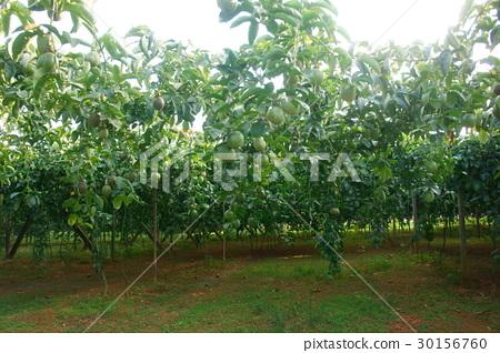 Passion fruit 30156760