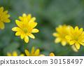 ranunculus ficaria, buttercup, buttercups 30158497