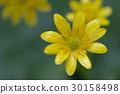 ranunculus ficaria, buttercup, buttercups 30158498