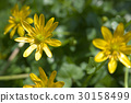 ranunculus ficaria, buttercup, buttercups 30158499