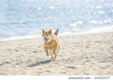 Shiba Inu沿著海灘跑 30162077