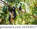 Two gibbons in jungle 30163617