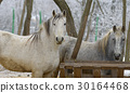 Portrait of white horse at zoo 30164468