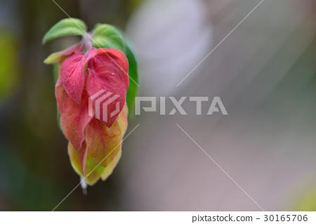 植物 花 紅蝦花 蝦仔花 紅 紅色 黃 黃色 30165706