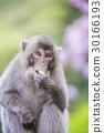 고구마를 먹는 원숭이 30166193