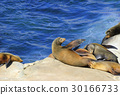 California Sea Lions Lie on Pacific Ocean Coast 30166733