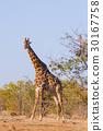 Giraffe from South Africa, Kruger National Park.  30167758
