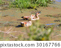 Egyptian Goose from Isimangaliso Wetland Park 30167766