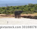 Elephant drinking water from waterhole 30168078