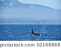 在知床的海洋游泳的逆戟鲸 30168868