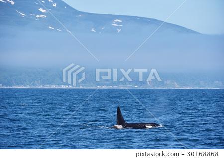 killer whale, shiretoko, blue water 30168868