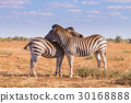 Couple of zebras from Kruger National Park,equus  30168888
