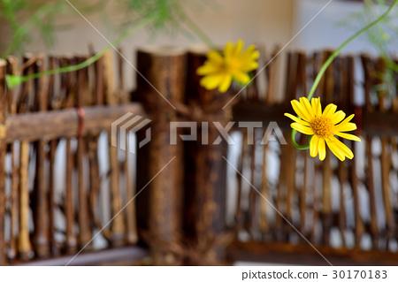 植物 花 金毛菊 萬點金 竹籬 黃 黃色 30170183