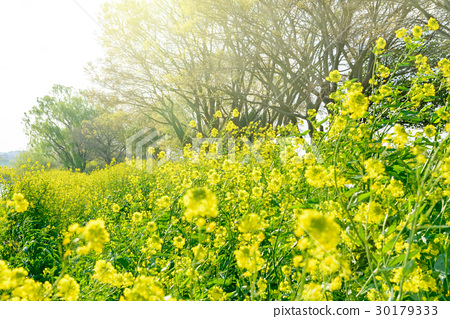 River bank of spring, rape blossoms. 30179333
