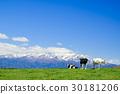 spring, pasture, cow 30181206