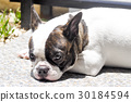 sleepy french bulldog 30184594