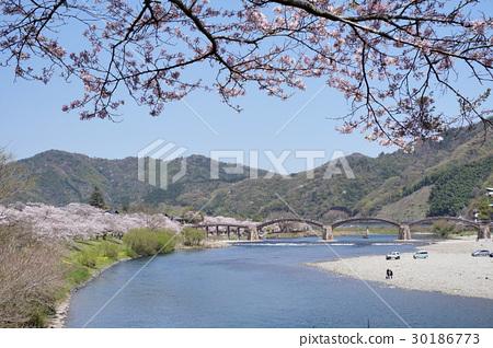櫻花和金泰橋 30186773