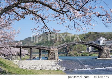 櫻花和金泰橋 30186775