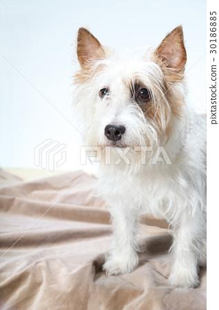 傑克羅素梗犬 30186885