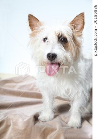 傑克羅素梗犬 30186886