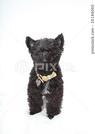 黑色混合狗 30188060