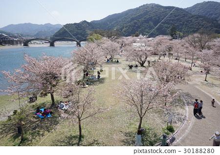 櫻花的景色和Kintai橋的櫻花景色 30188280