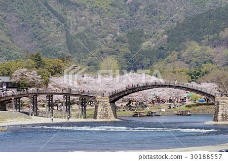 櫻花和Kintaikyo橋的風景 30188557