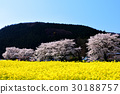 Cherry blossoms and rape blossoms 30188757