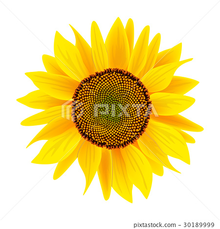 Sunflower flower or Helianthus isolated on white 30189999