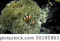 Nemo  family in front of their anemone home. 30195863