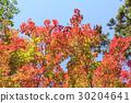 ต้นเมเปิล,ผักใบ,ท้องฟ้า 30204641