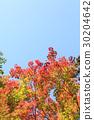 ต้นเมเปิล,ผักใบ,ท้องฟ้า 30204642