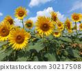 꽃, 여름, 해바라기 30217508