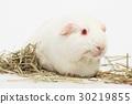 White guinea pig. 30219855