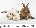 Rabbit and white guinea pig. 30220298