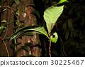 Long legged centipede under leaf 30225467