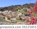 野樱桃树 野樱桃花 樱花 30225855