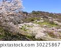 野樱桃树 野樱桃花 樱花 30225867