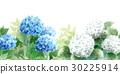 绣球花 花朵 花卉 30225914