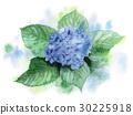 수국, 자양화, 꽃 30225918