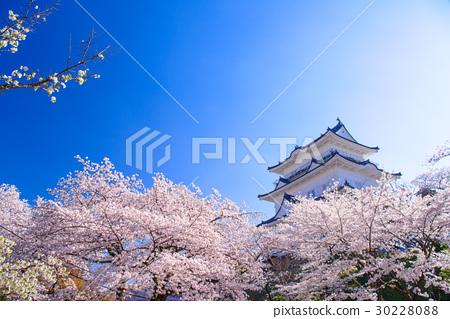 [神奈川縣]小田原城,櫻花季節 30228088
