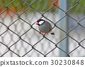 Java sparrow Java finch Cute Birds of Thailand 30230848